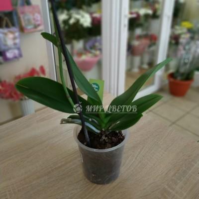 Орхидея Фаленопсис уценка, без цветения