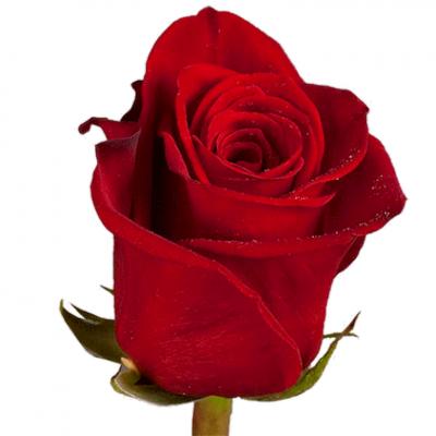 Роза импортная красная Фридом 80см