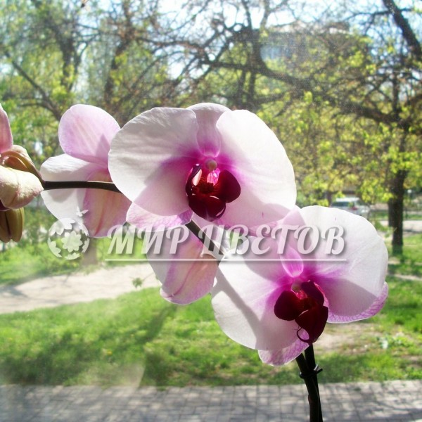 Орхидея Фаленопсис 95см