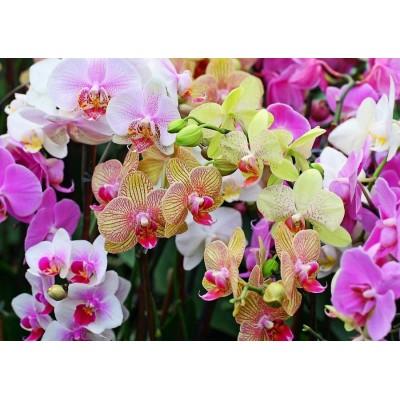 Орхидея Фаленопсис микс