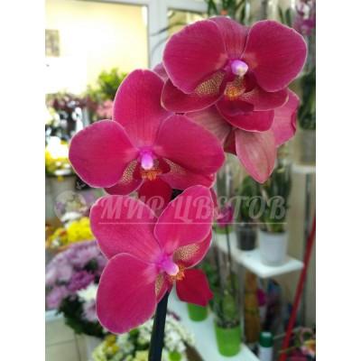 Орхидея Фаленопсис 65см