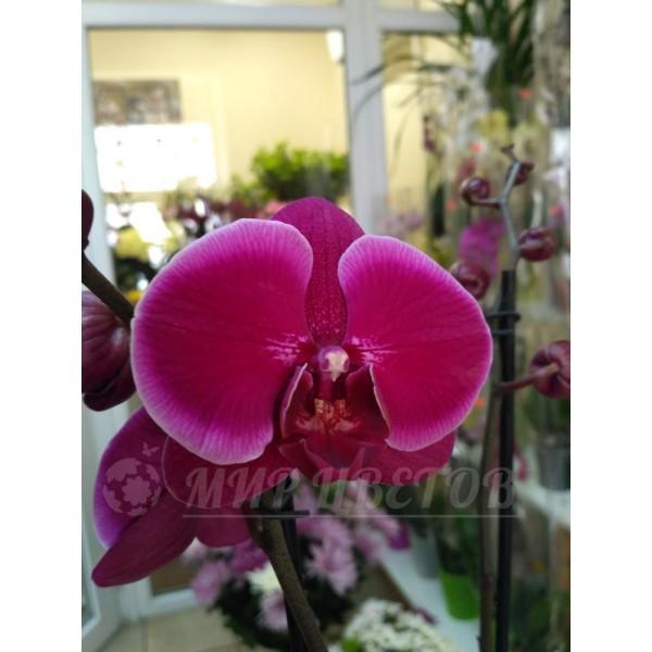 Орхидея Фаленопсис 65см темно-фиолетовая