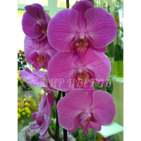 Орхидея Фаленопсис 65см фиолетовая крупная