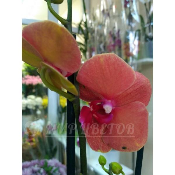 Орхидея Фаленопсис 65см оранжевая