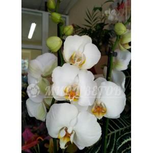 Орхидея Фаленопсис 65см белая